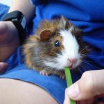 study-guinea-pig-and-wrist-band-sensor