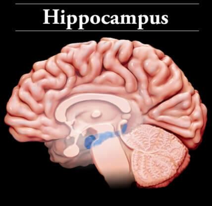 Hippocampus in the brain's temporal lobe involved in quick, successful conflict resolution