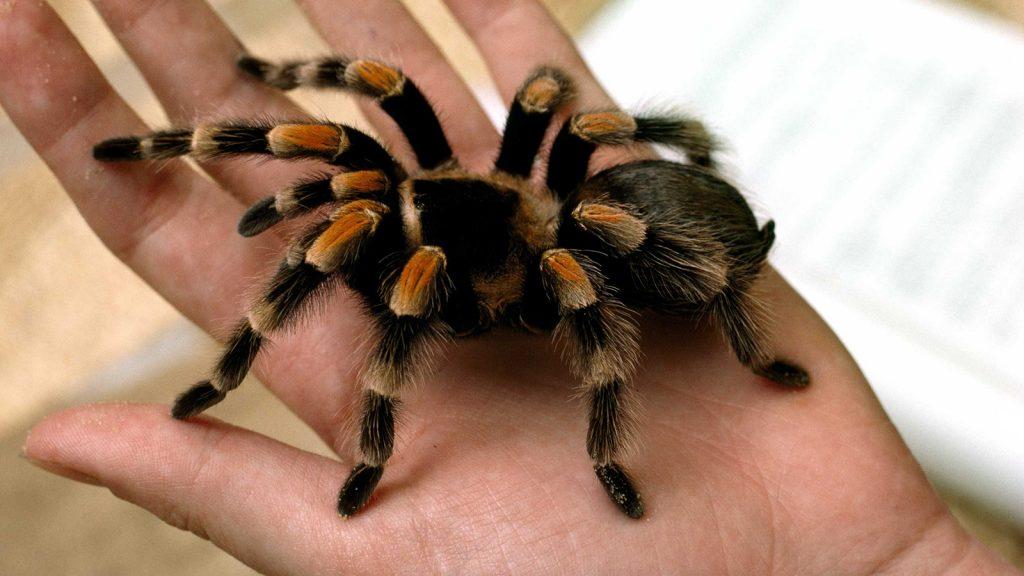 tarantula-closeup-hand