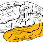 Gray726_temporal_lobe