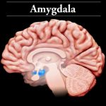 BrainBasicsSlideshow_10_Amygdala